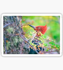 Woodpecker at Forest Pecking Tree, Patagonia, Argentina Sticker