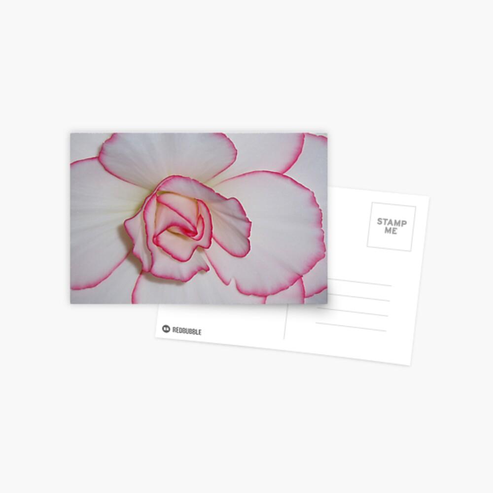 Begonia 2 Postcard