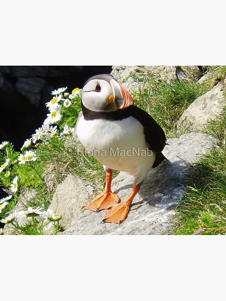 Puffin 5 by orcadia