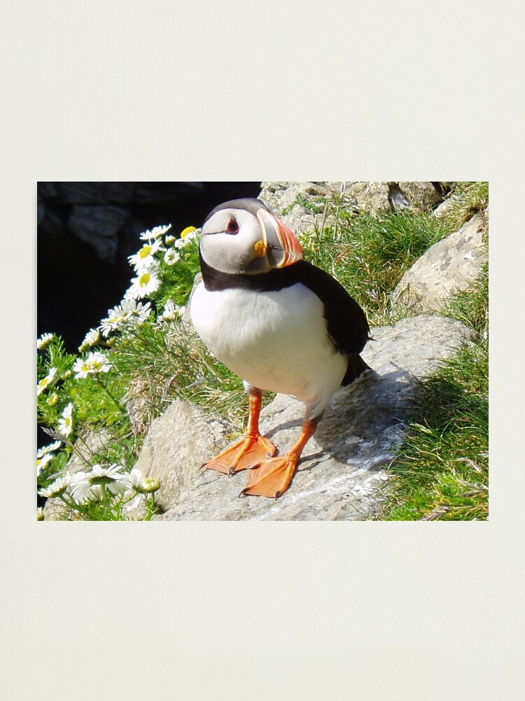 Alternate view of Puffin 5 Photographic Print