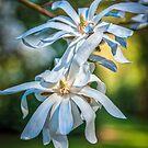 White Magnolia by vivsworld