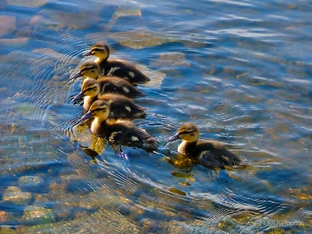 5 Young Ducklings Swimming In Clear Water by Joel Kempson