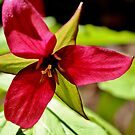 Red Trillium IV by Kathleen Daley