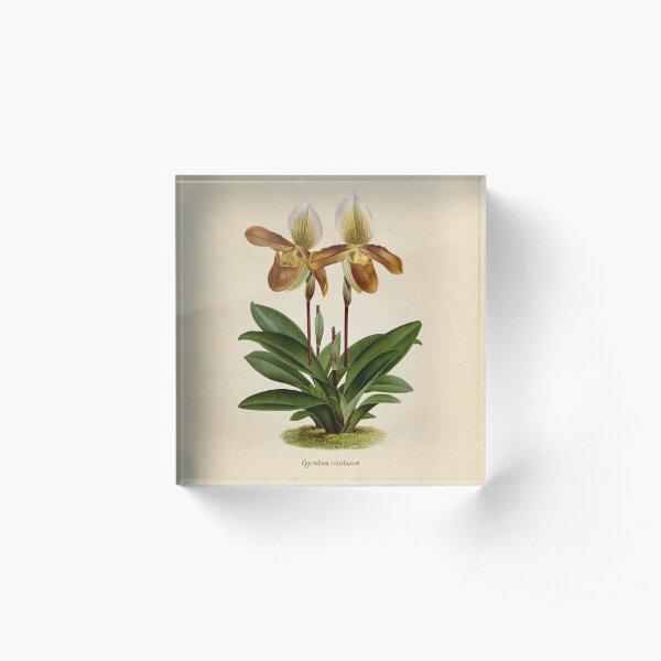 Cyripedium crossianum old plate Bloque acrílico