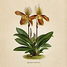 «Cyripedium crossianum old plate» de bibliotee