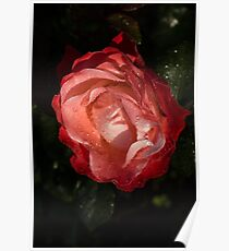 A Wonderful Cream-and-Red Rose With Dewdrops Poster