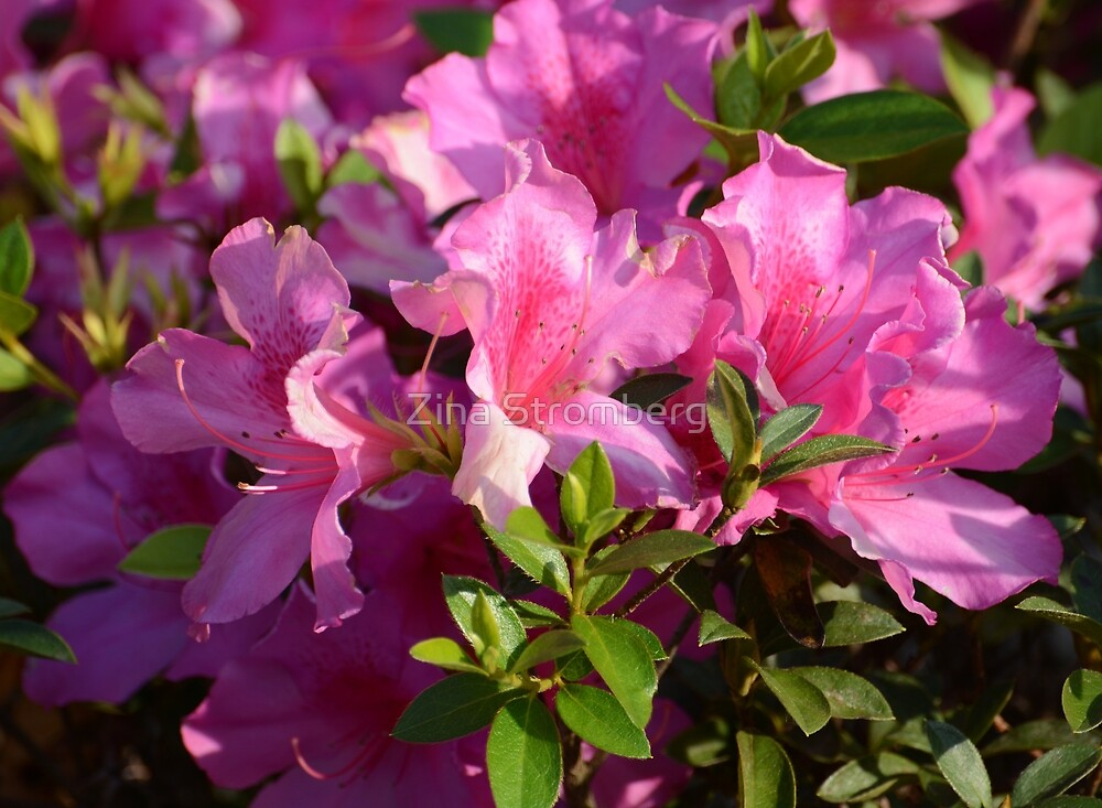 Pink rhododendron  by Zina Stromberg