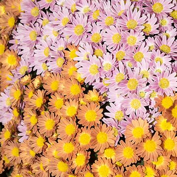 Floral Overflow - an Elegant Display of Multicolor Autumn Mums by GeorgiaM