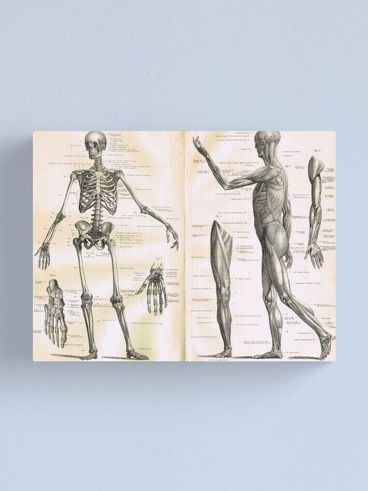 Alternate view of 19th century anatomy illustration parts of  a human skeleton Canvas Print
