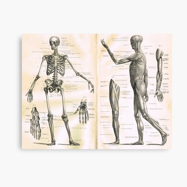 19th century anatomy illustration parts of  a human skeleton Canvas Print
