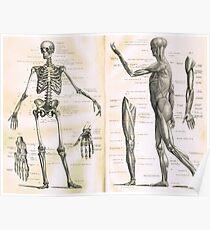 19th century anatomy illustration parts of  a human skeleton Poster