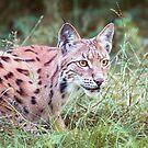 Lynx in the grass by Dominika Aniola