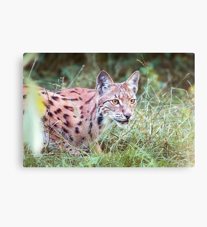 Lynx in the grass Canvas Print