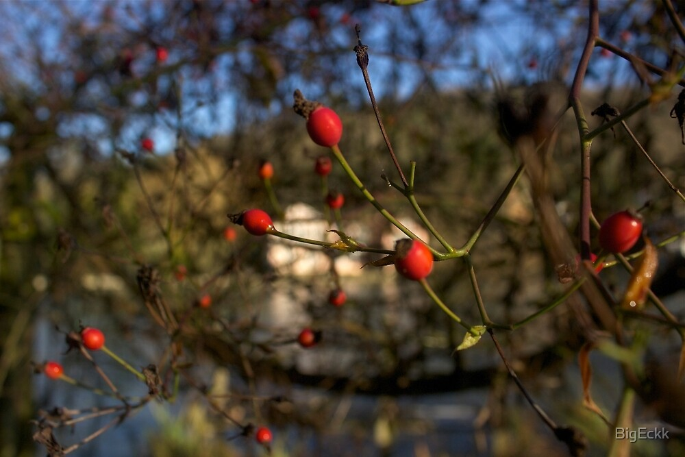 Red Berries in Winter by BigEckk