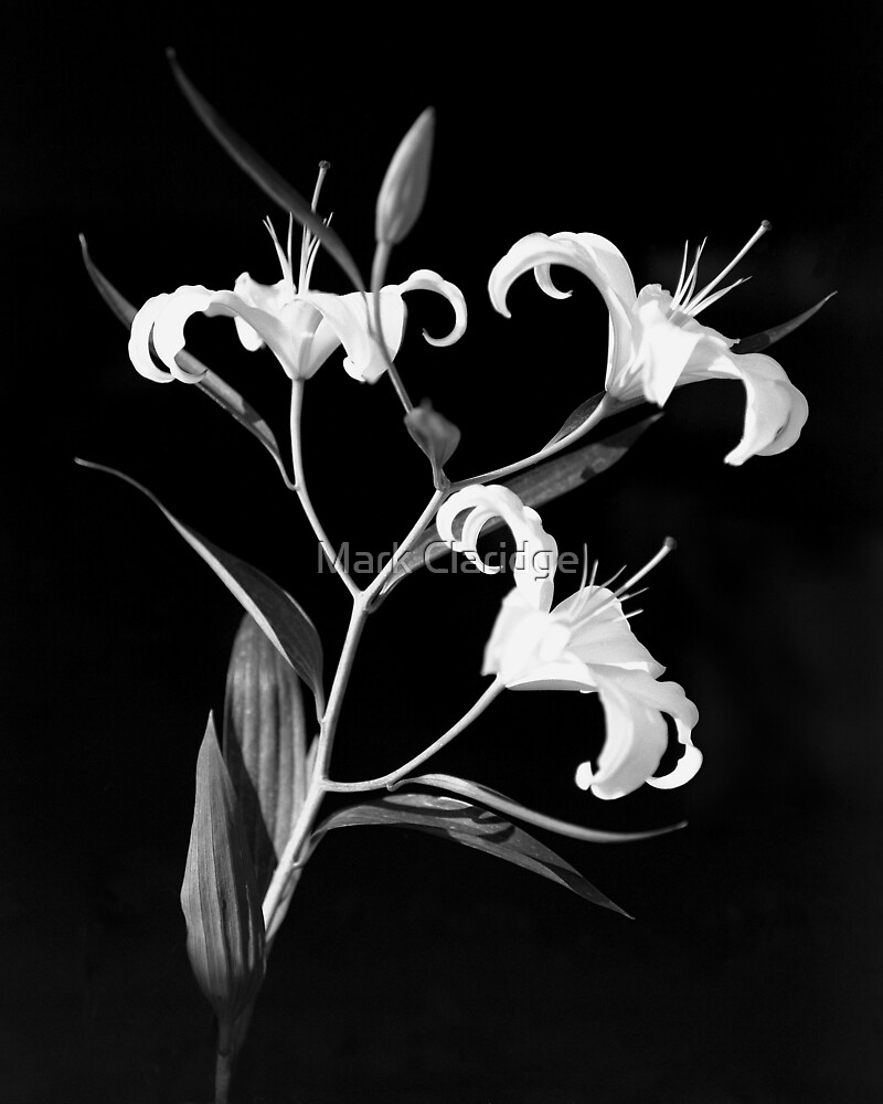 Lilies 1 by Mark Claridge