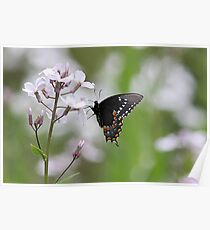 Black Swallowtail Butterfly on white flowers Poster
