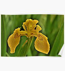 Yellow Iris in the Rain Poster