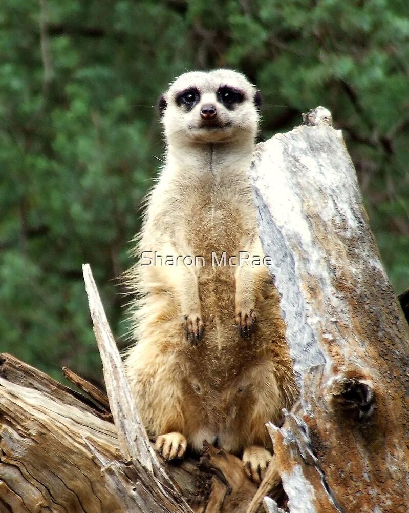 Meerkat by SharonD