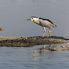 Black-crowned Night Heron 2017-2 by Thomas Young