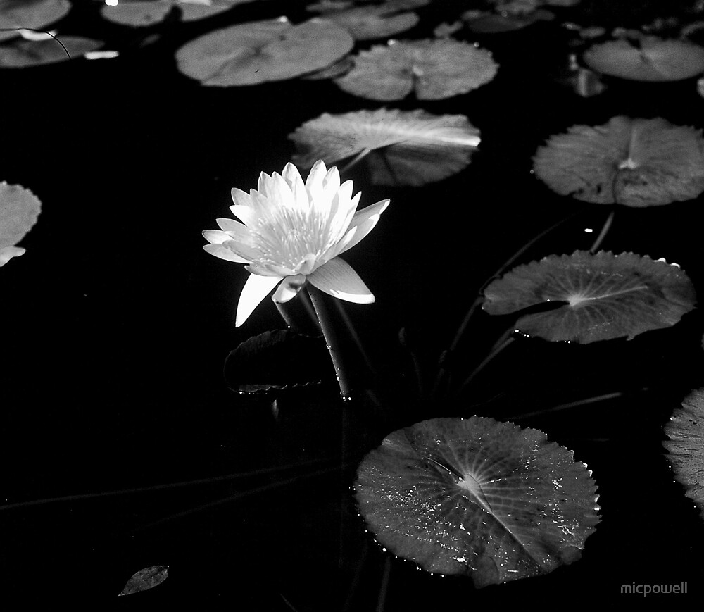 Lone Lilly by micpowell