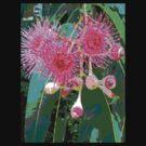 Pink flowering gum blossom by Virginia McGowan