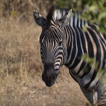 Zebra Peeking Around The Bush by Sauropod8