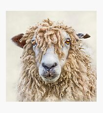 Leicester Longwool Sheep Photographic Print