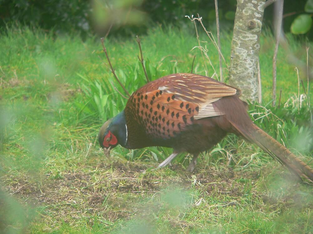 pheasant by sptanner69