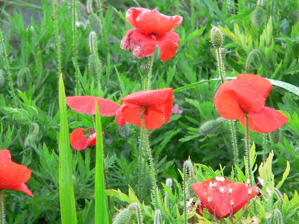 poppies by sptanner69