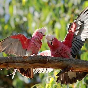 The Australian Galah by arkle