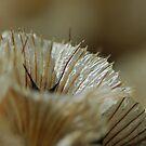 scabiosa flower by mtths