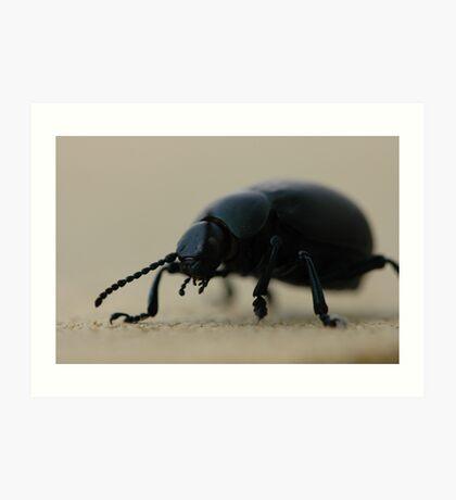 black calosoma beetle Art Print