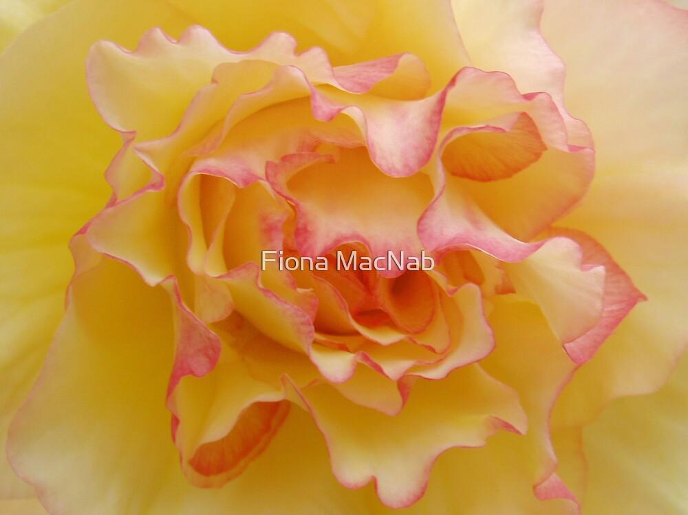 Begonia 3 by Fiona MacNab