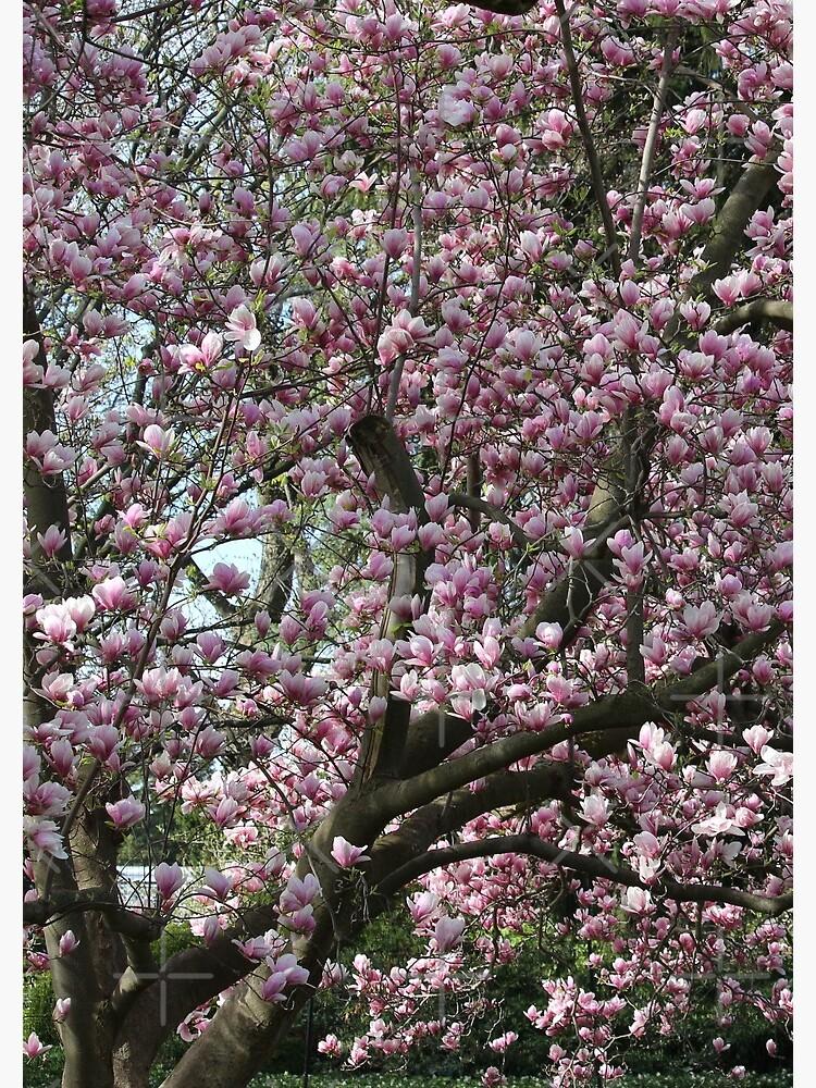 Magnolia Song by debfaraday