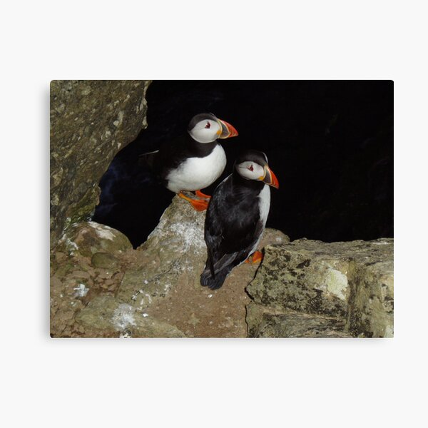 Puffins at night Canvas Print