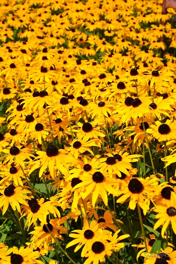 Brown Eyed Susan Beauty by Susanh45