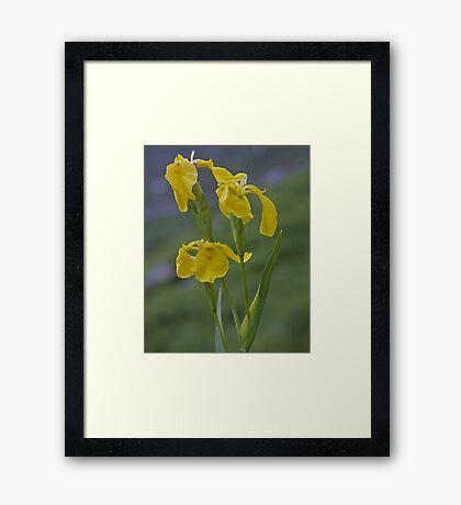 Yellow Flag Iris - Donegal Framed Print