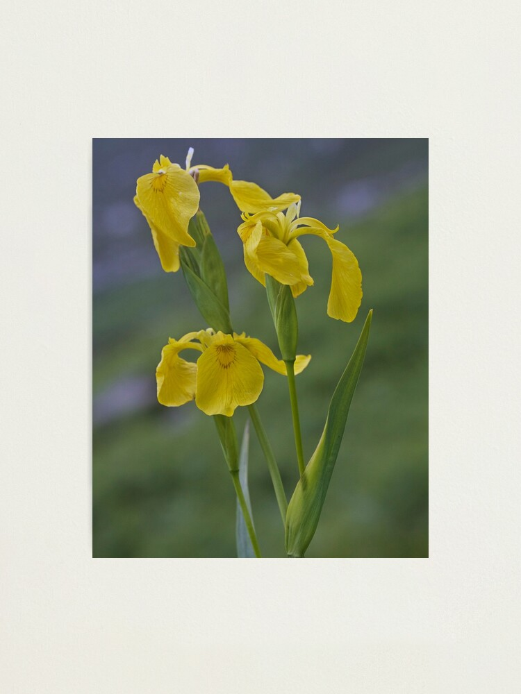 Alternate view of Yellow Flag Iris - Donegal Photographic Print