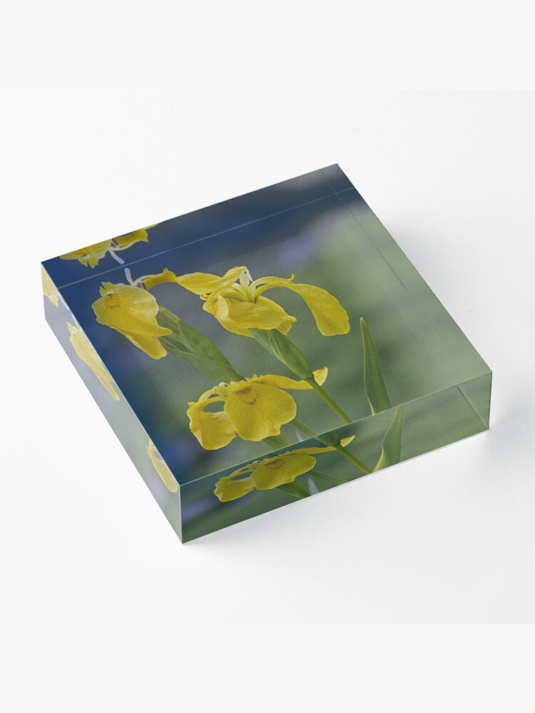 Alternate view of Yellow Flag Iris - Donegal Acrylic Block
