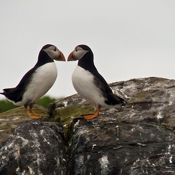 Loving Puffins by GrahamCSmith