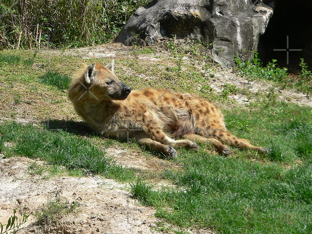 Hyena Sun Bathing by kevint