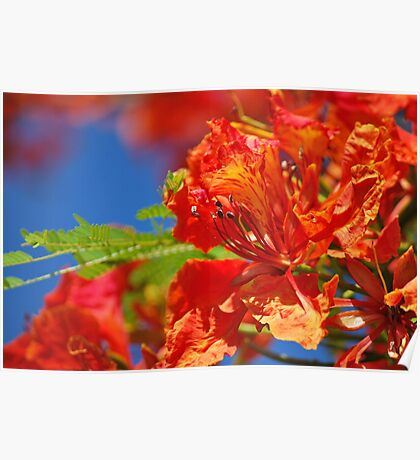 Red Flamboyant Flowers  Poster