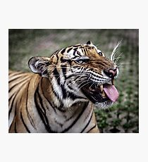The Roaring Tiger Photographic Print