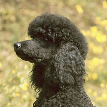 poodle black by marasdaughter