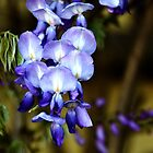 Wisteria _ purple by Poete100