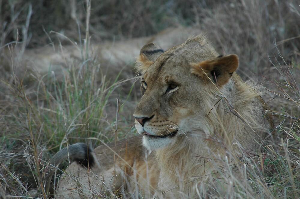 Lion! by David H
