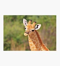 Giraffe - African Wildlife - Innocence is Adorable Photographic Print