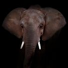 African Elephant by Johnny Furlotte