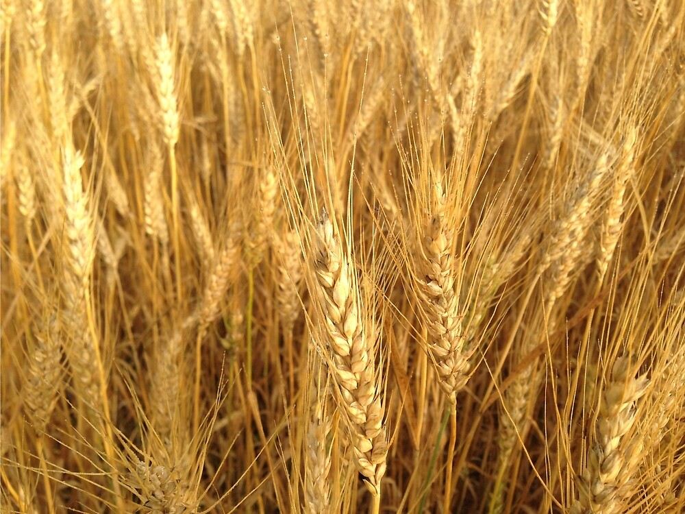 Wheat by FabledJayce17