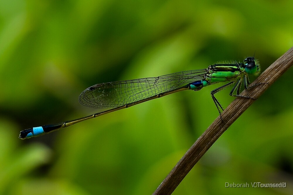 Damselfly, March Bluetail. (Ischnura senegalensis) by Deborah V Townsend